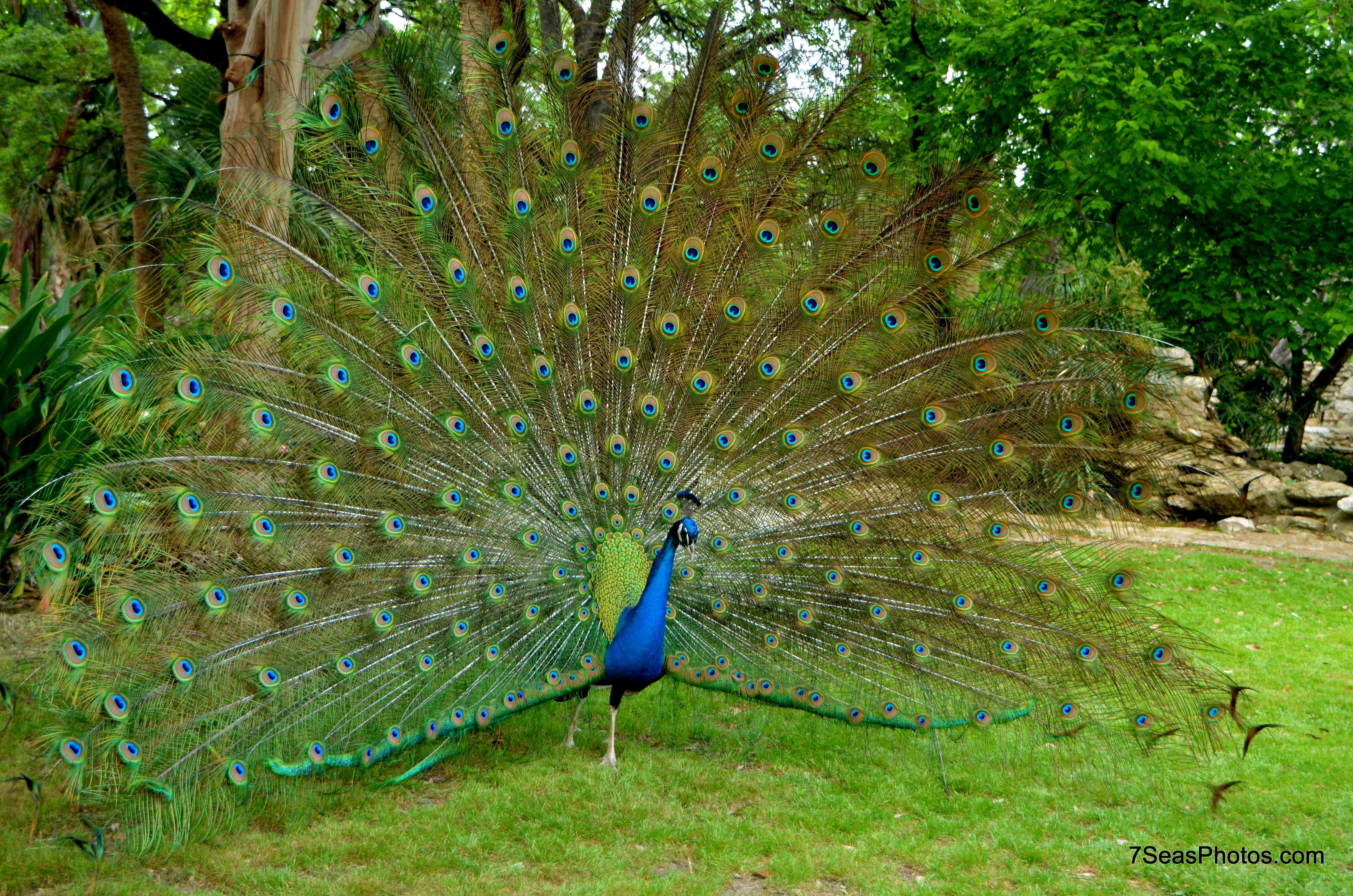 the peafowl