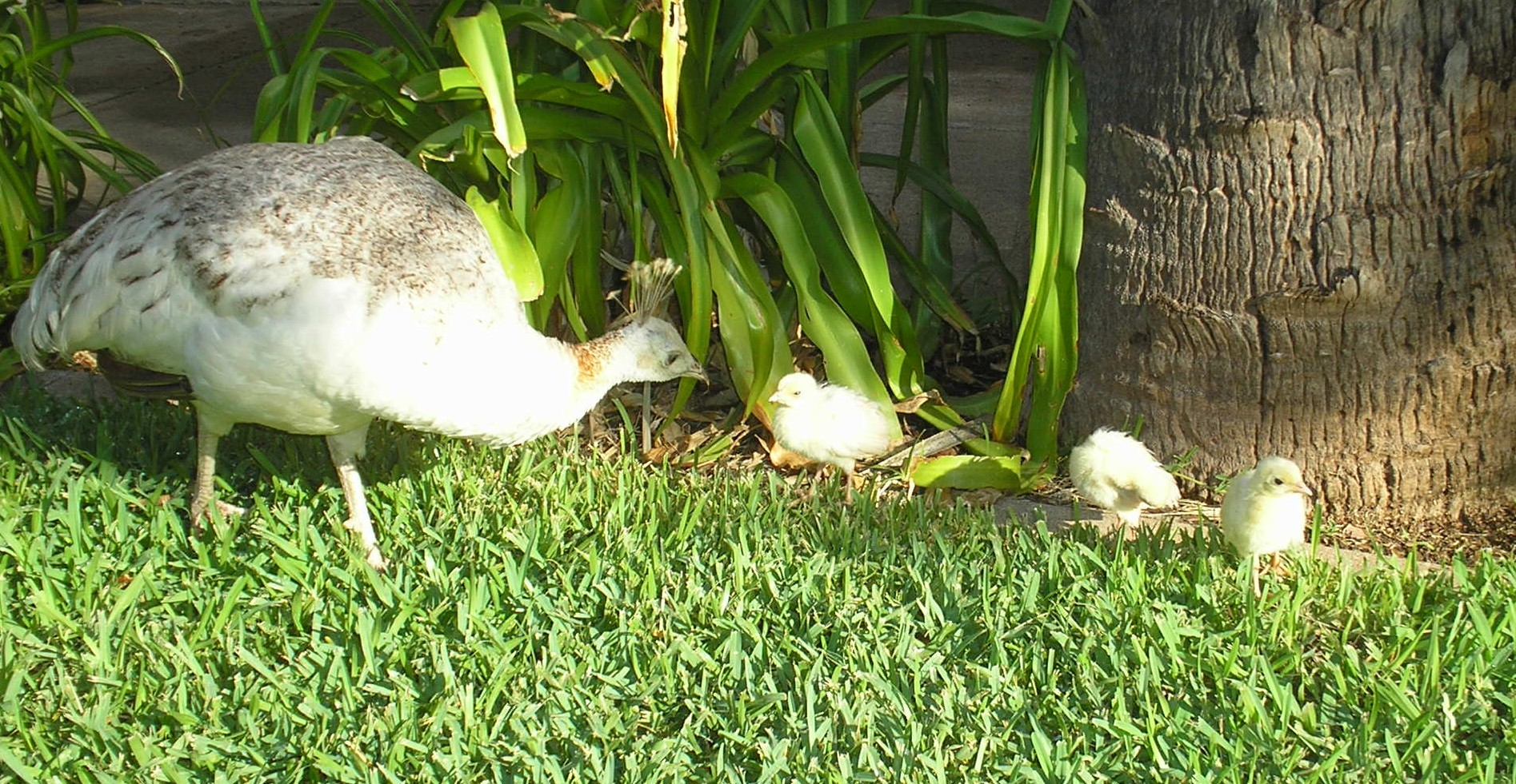 Peahen And Peacock Mating The Peafowl