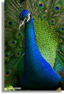 Peacock3b