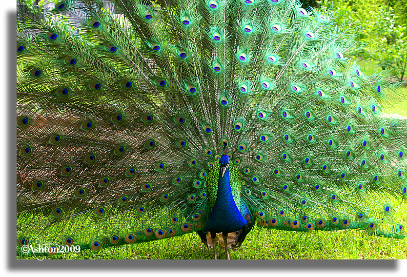 The Peafowl |