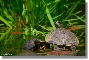Turtles1-Copy